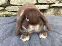 Handsome chocolate mini lop Buck for sale