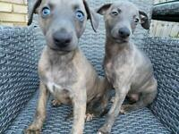 Beautiful home reared whippet puppies