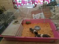 2 baby guinea pigs with set up