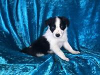 Beautiful Border Collie Puppy