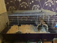 Guinea Pig, Cage and Stand for Sale