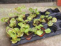 pots of geraniums for sale