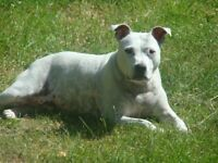 Missing Staffordshire Bull Terrier