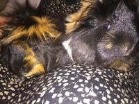 2 Male Guinea Pigs - Free to a good home