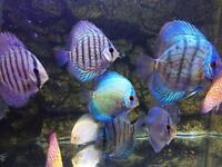 Juwel tank and 15 discus fish
