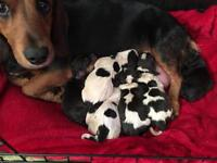 Doxle puppies