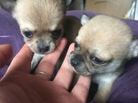 Kc Reg Smooth Coat Chihuahua pups available