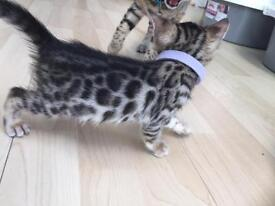 Last one - Bengal kitten, girl