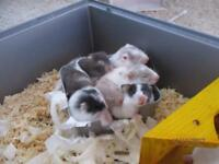 Baby Syrian hamsters for sale!