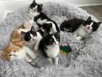 Kittens for Sale £170