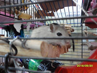 different color baby gerbils