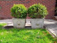 Stone urns + box plants