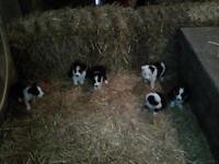 Collie Puppy Puppies