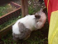 Lionhead rabbit doe 8 months