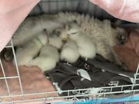 Pure bred Ragdoll Kittens