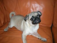Stunning KC Pug Female