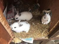 Baby Rabbits. X3. Pics of mum n dad in photos too
