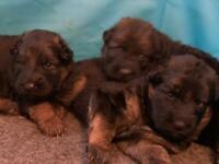 Fantastic German Shepherd pups