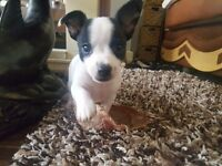 2 lovely puppies left-Chihuahua x miniature Jack Russell