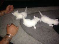 White kittens for sale