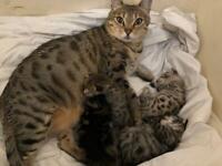 3 Bengal cross Kittens, 11 weeks old.