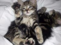 Bengal X Kittens ready to go