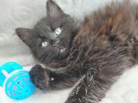 😻😻Adorable Ragdol black fluffy kitten🥰💝