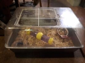 6 spiny mice FREE