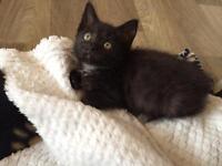 Black female kitten available.
