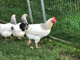 Light Sussex pullets -POL