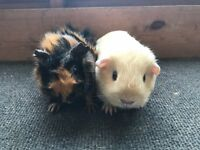 Sweet baby girl guinea pigs for sale