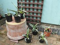 Easy to keep Agave Americana - indoor or outdoor plant