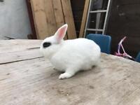 Netherland dwarf 2 Mel Rabbits