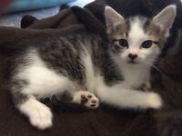 Tabby & white girl kitten needs loving home