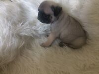 100% KC registered Pug Puppies for sale. Great price