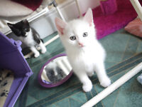 Two beautiful hand-reared female kittens £50 the pair