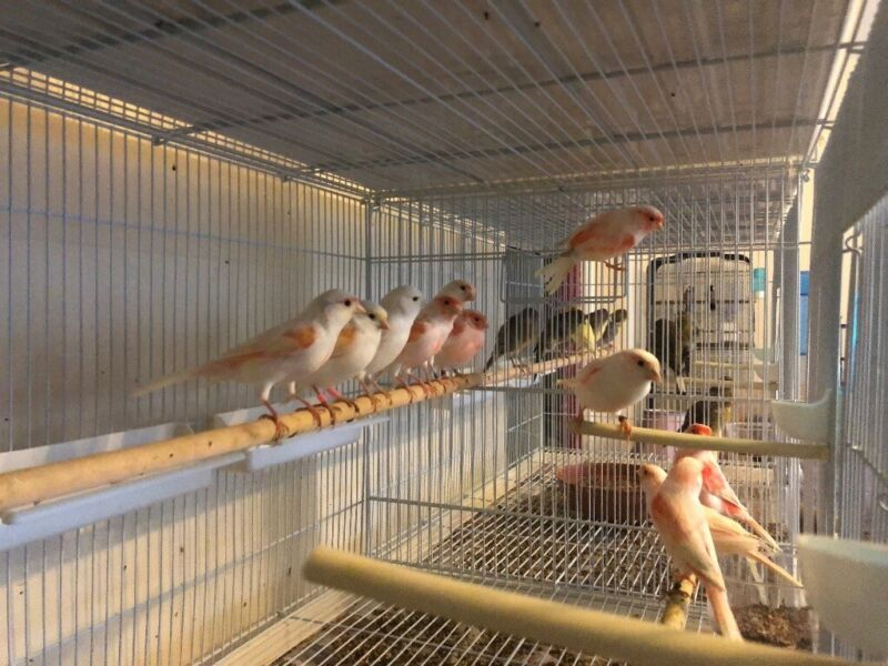 Canaries for sale  for sale  Reading, Berkshire