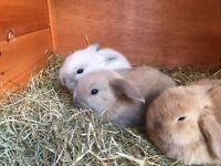 Mini Lop Eared Rabbits for Sale