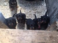 Adorable Rottweiller Pups For Sale