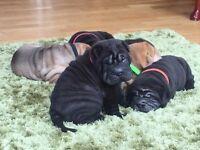 KC registered Shar Pei Puppies ready August
