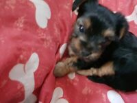 yorkshire terrior mini puppies for sale