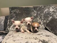 2x boy chihuahuas left!!