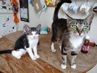 15 week kitten for sale