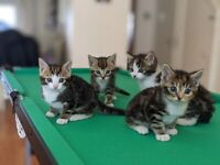 Beautiful kittens for sale 6 weeks old
