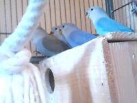 Lovebird chicks for sale.