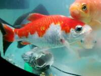 8 x Goldfish 6 inch to 12 inch in size