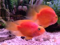 5inch parrot fish for sale