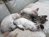 Rare and Beautiful Blue Eyed Snow/Dark Spot/Marble Bengal Kittens READY NOW