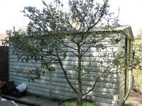 Large Holly Tree 2.3m High x 2.4m Wide - Collect Crawley