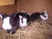 Various baby rabbits for sale